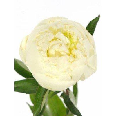 Paeonia Lactiflora Grp 'Duchesse de Nemours'