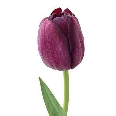 Tulipa Triumf Grp enkel 'Combat'